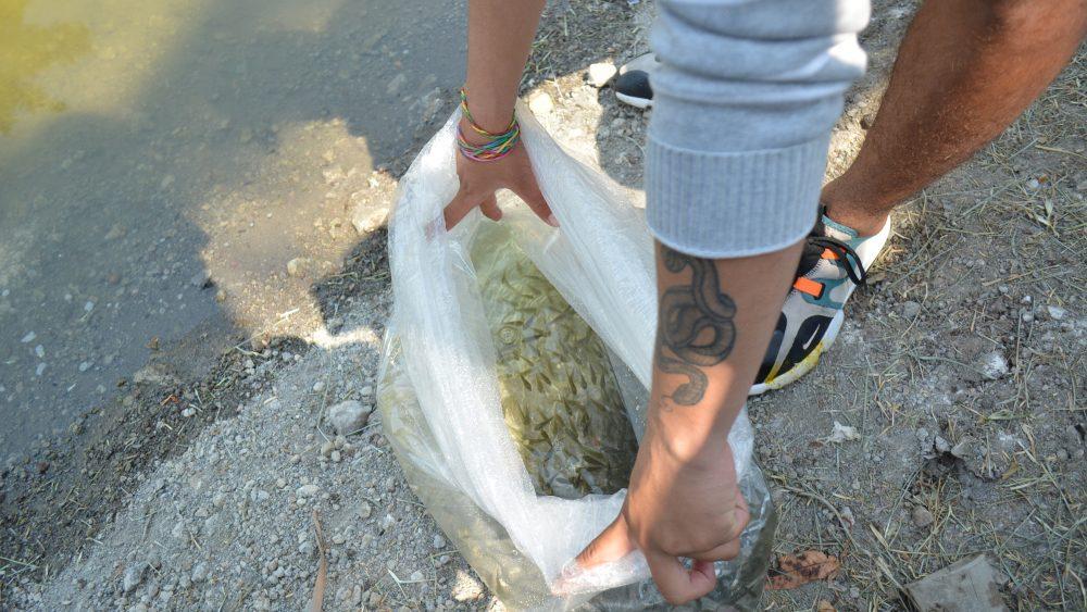 Siembran Jojutla mojarras en lago ornamental para alimentar a personas sin empleo